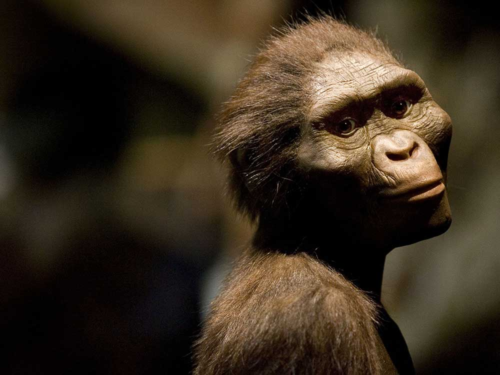 Adult A. afarensis too may have been adapted to tree life (artist's reconstruction).  PHOTOGRAPH BY DAVE EINSEL, GETTY IMAGES