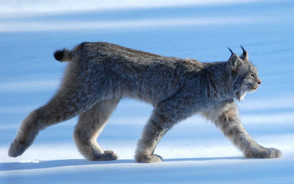 The sun was low and this lynx moved through the shadows as he approached the shore of a frozen lake in southern Yukon. They are nocturnal animals and rarely seen.  Credit: Keith Williams - originally posted to Flickr as Lynx Canadensis (Wikipedia)