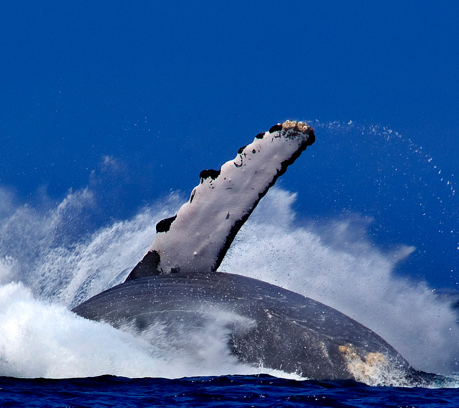 Humpback Whale crashes back into the ocean off the Kohala Coast near Kona Hawaii. Image credit: Evan Fitzer.