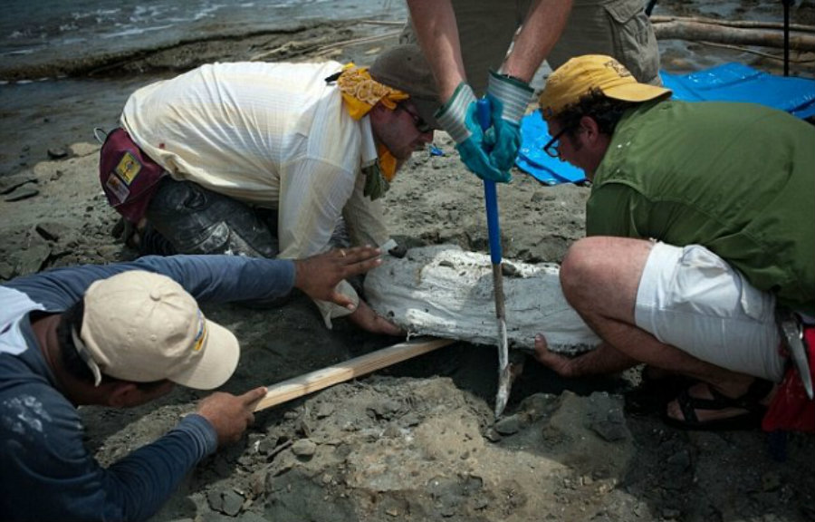 The dolphin fossil had been waiting to be discovered inside the Smithsonian for over five decades. Image Credit: Smithsonian Mag