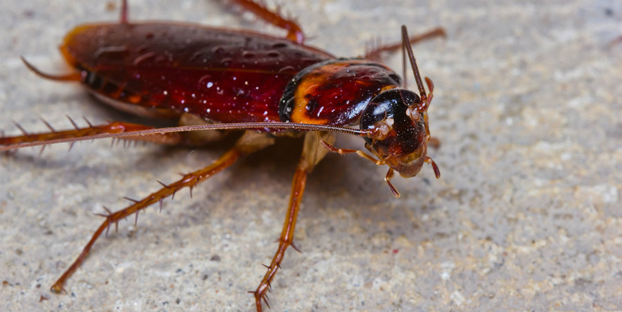 American cockroaches tend to travel more in southern states, and they commonly do it as a way of looking for food. Image Credit: Some eCards