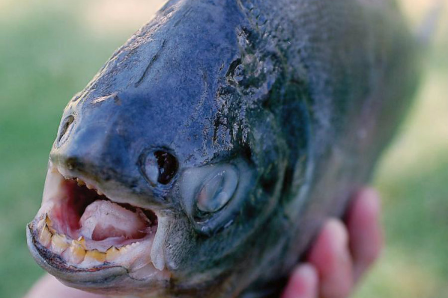 Pacu teeth's tend to have straight and with a square form, which resembles them to a human bite. Image Credit: Live Science