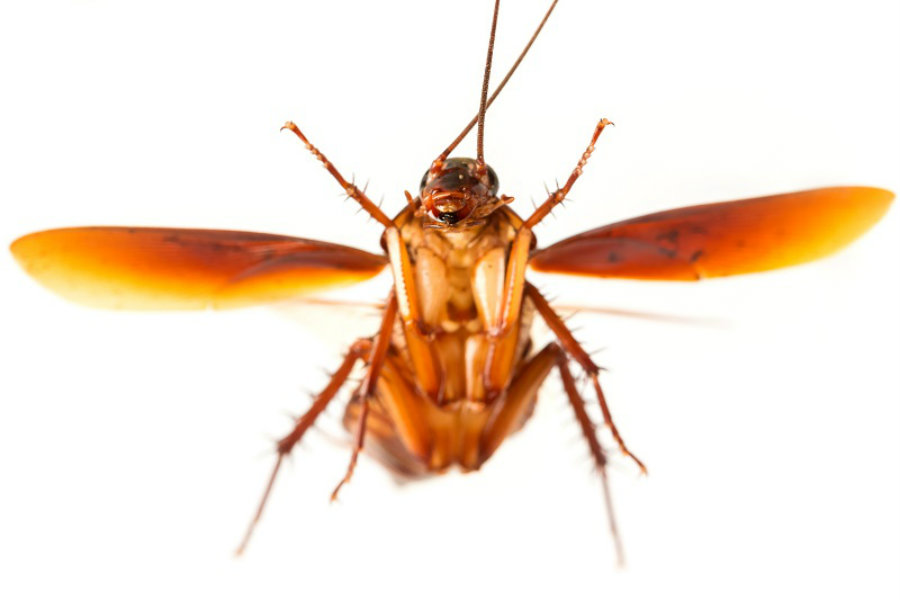 The cause for the recent swarming of flying cockroaches in NYC might be climate conditions. Nonetheless, the roaches were probably there already to begin with. Image Credit: Inquisitr