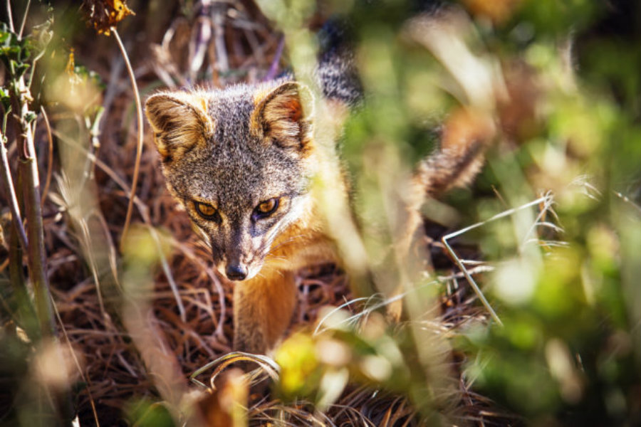 It is the isolation of the island fox what has led the animal vulnerable to diseases that the domestic dog might carry. Image Credit: Nature