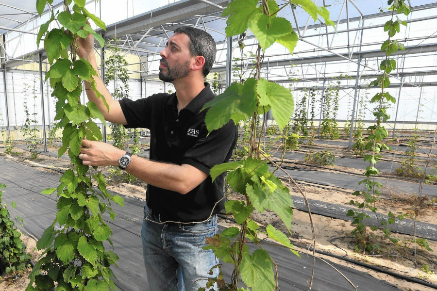 Pearson was able to grow a variety of strains, including a native American hop that was discovered on Navajo land in New Mexico. Image Credit: Orlando Sentinel