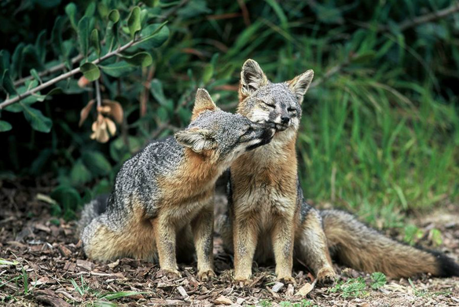 Thanks to these efforts there is today almost 6,000 tiny foxes on the islands off the coast of Southern California. Image Credit: IGN