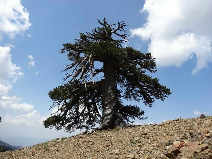 Scientists were looking for hints about the story of climate change and human influences when they found a 1,075-year old Pinus Hel dreich ii, known as Bosnian pine, which is the oldest known living tree in Europe. Photo credit: Dr Oliver Konter, Mainz / Huffingont Post