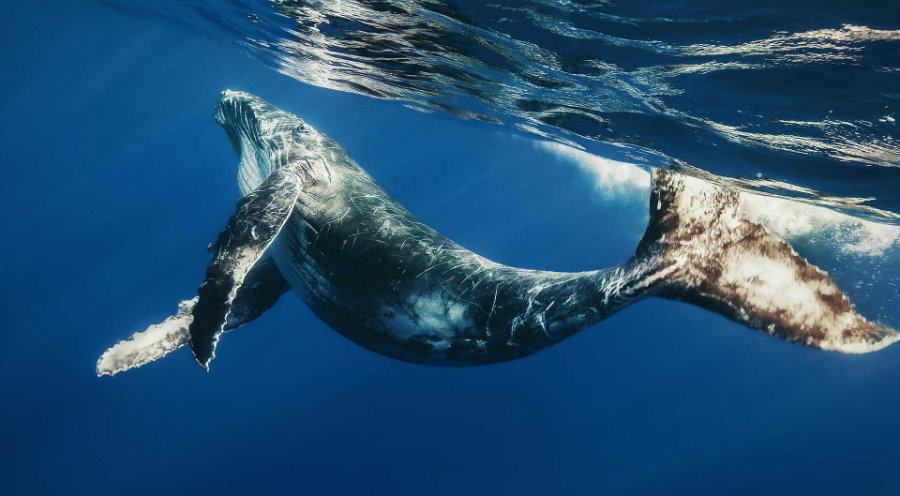 It is more efficient to kill a single blue whale that the equivalent ten tons of fish. Photo credit: Pet Central