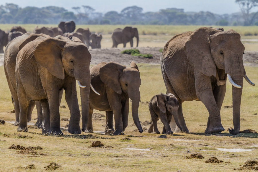 According to the Great Elephant Census, an approximate thirty percent of all the savannah elephants in Africa have been killed between 2007 and 2014. Photo credit: Wikipedia Commons