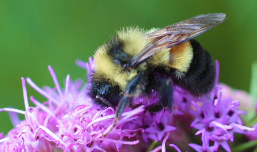 A research made by the Xerces Society has shown a sharp decline in rusty-patched bumblebee populations. Photo credit: Caroline Hlohowskyj / Chicago Wilderness
