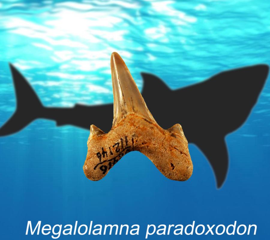 Megalolamna Paradoxodon/Shark