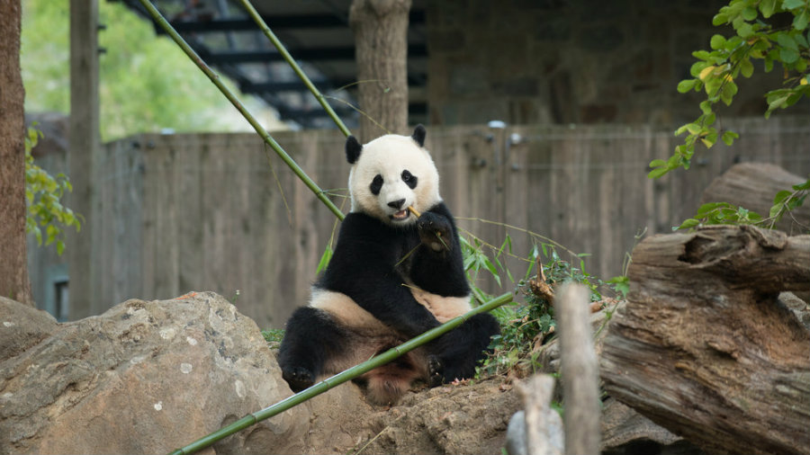Bao Bao was born in August 2013, and it is the daughter of Mei Xiang and Tian Tia. Photo credit: Connor Padraic Mallon / The Smithsonian's National Zoo / NPR