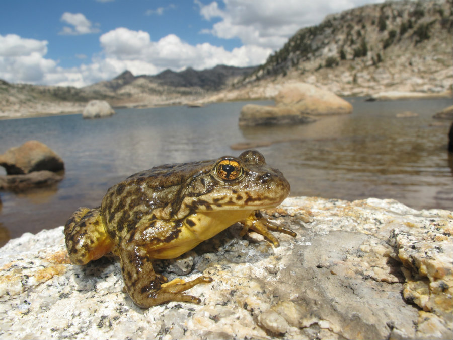 The Rana Sierrae's population has been decreasing in the national park for the last 100 years. Photo credit: Amphibia Care