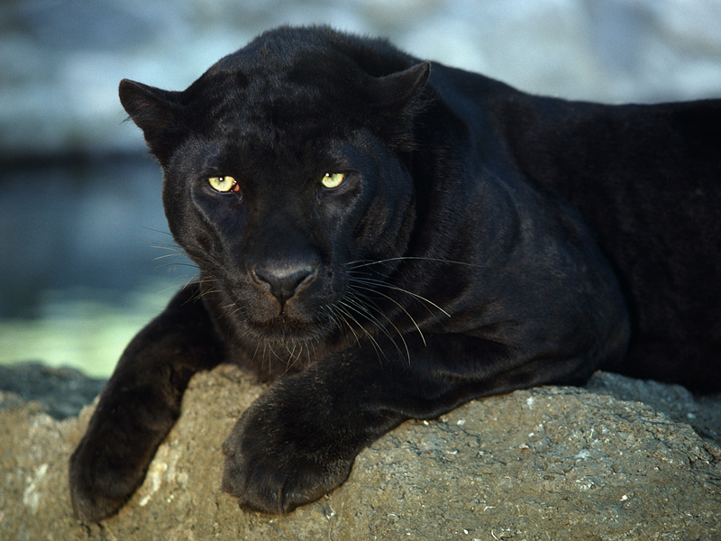 Female panther