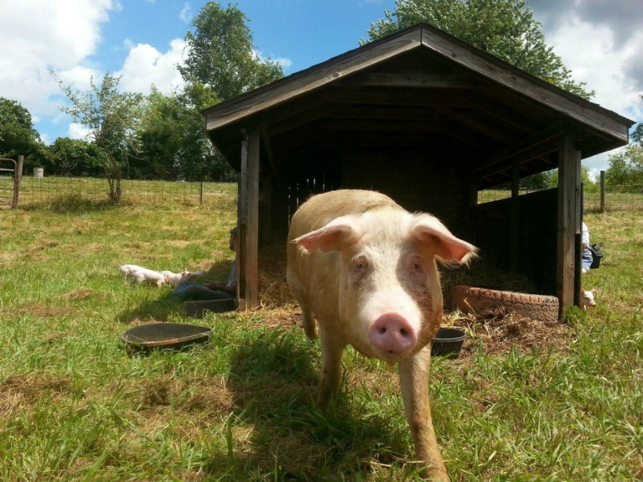A recent study from the University of Lincoln has concluded pigs have different personality traits. Photo credit: Peta.org