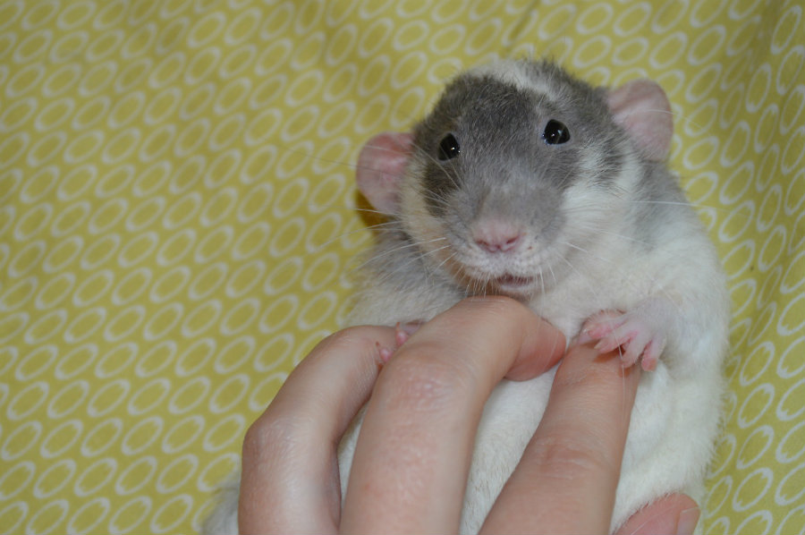"Rats emit ultrasonic giggles when tickled, now known as ""joy jumps."" Photo credit: Pinterest"