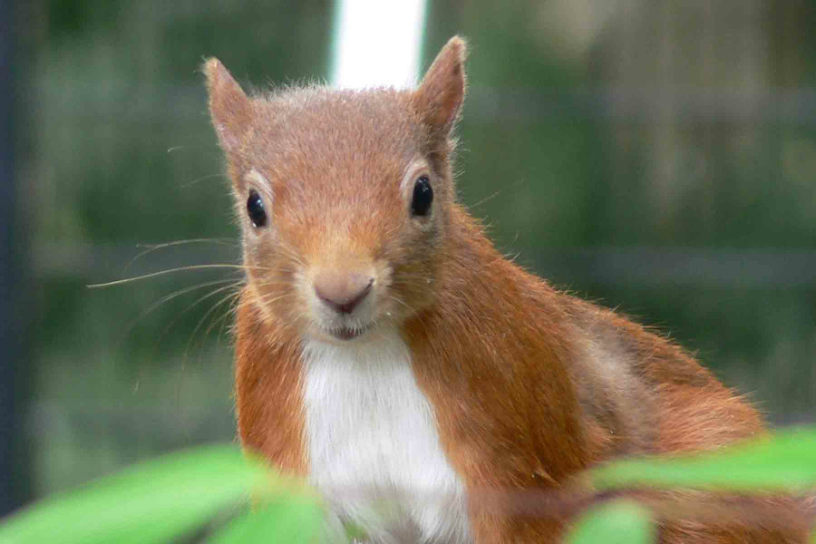 Scientists discovered that UK red squirrels are carriers of Mycobacterium leprae, the bacteria responsible for leprosy. Photo credit: Parkside Veterinary Group / Red-squirrels.co.uk