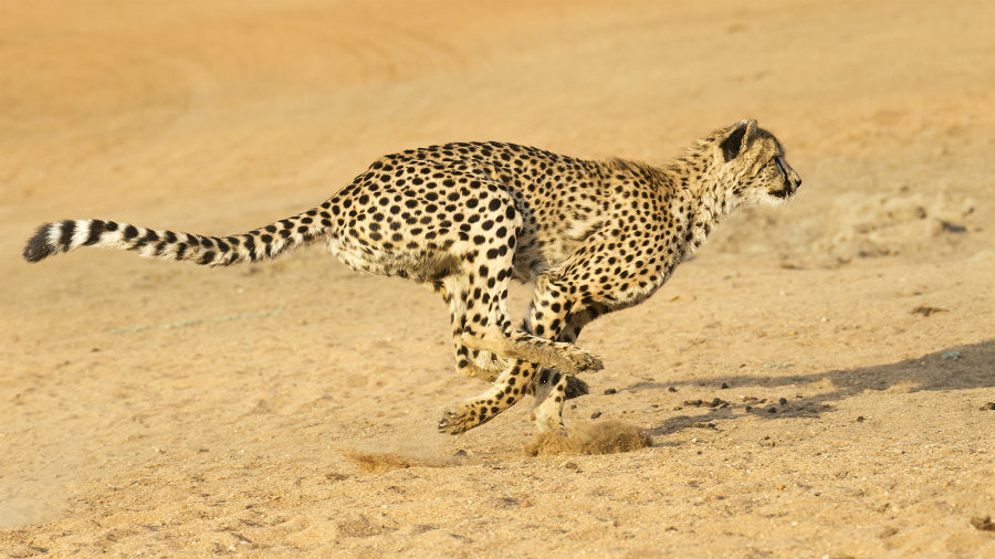 77 percent of the cheetah's habitat falls outside of protected areas, exposing the species to less law enforcement protection. Photo credit: Nat Geo Kids