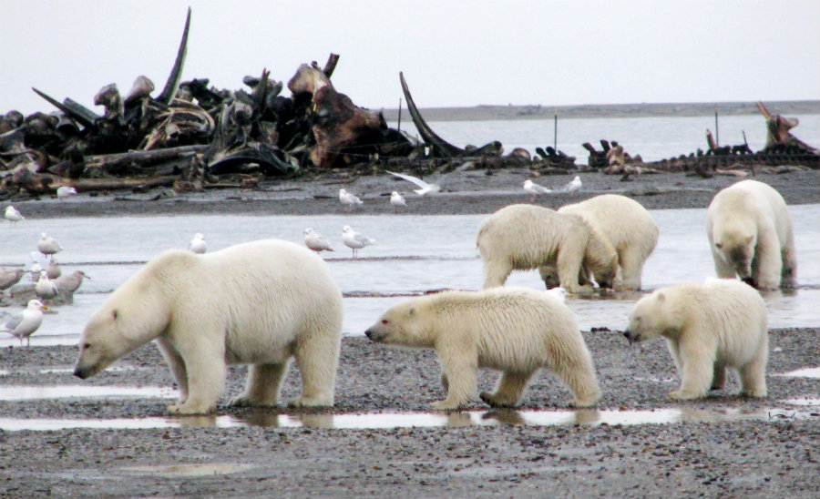 The current amount of polar bears in the world is greater when comparing with 1980 ciphers. Photo credit: Travelswithangel.wordpress.com