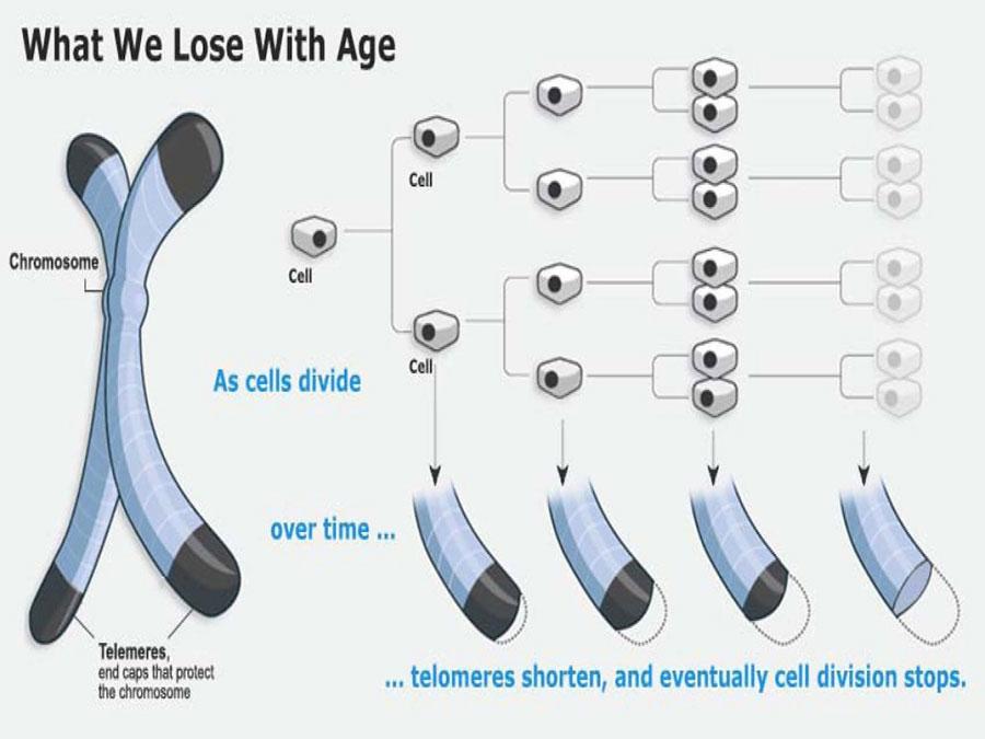telomere-shortening