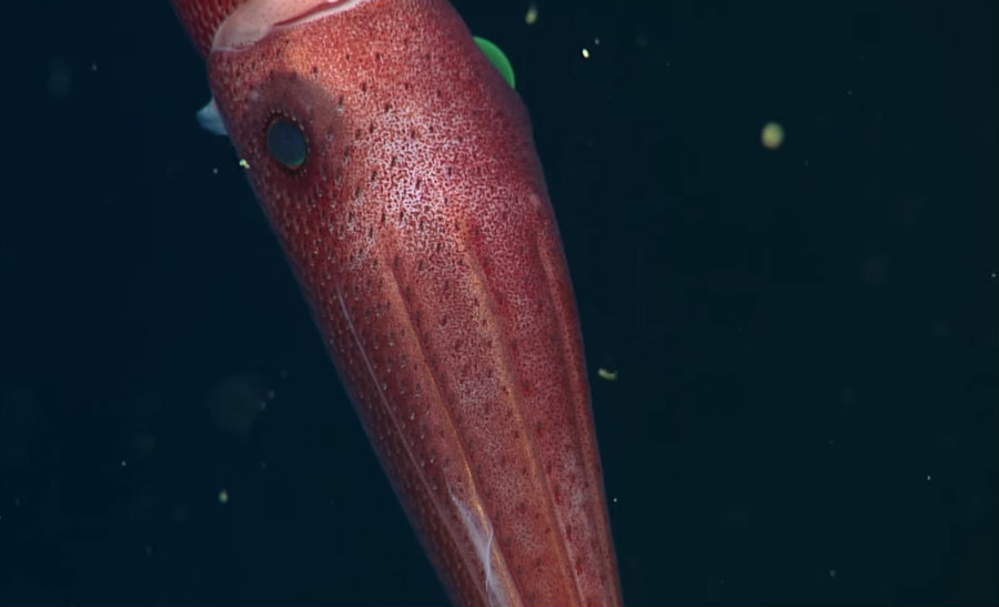 Researchers determined that each eye had different characteristics as each one of them must comply a different task. Image credit: Monterey Bay Aquarium Research Institute (MBARI) Youtube Channel
