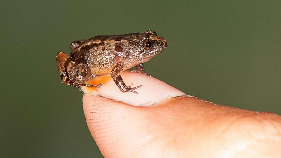 india-frog