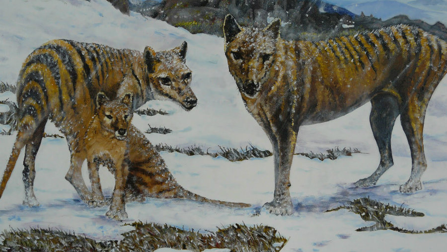 The last wild Tasmanian tiger was killed between 1910 and 1930. Image credit: Wayne Dowsent Youtube Channel