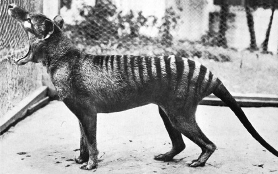 """The actions to preserve the species came too late and after the death of """"Benjamin,"""" the last thylacine in Hobart Zoo. Image credit: The World of Animals"""