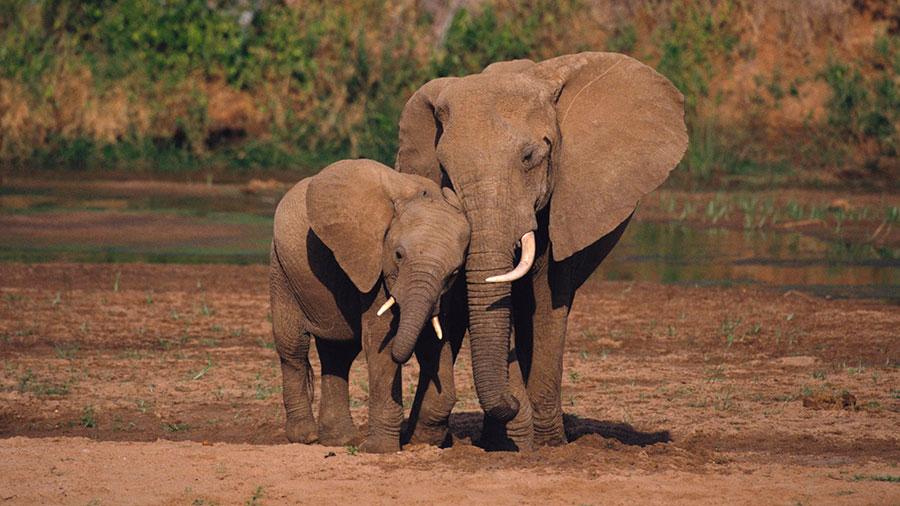 wild-elephant-sleep