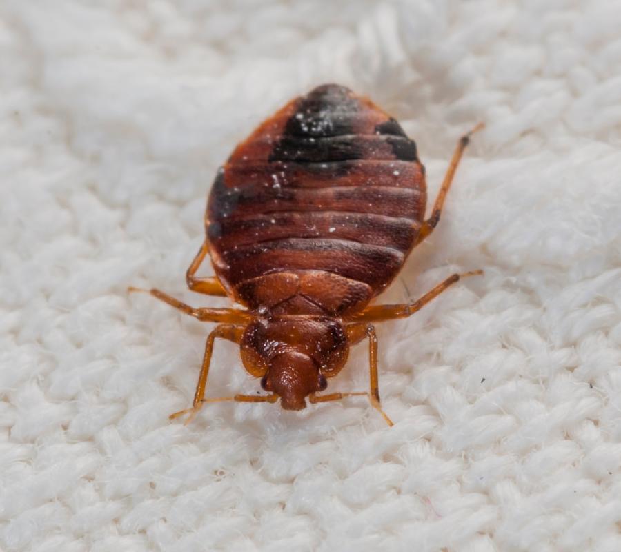 Bedbug origins