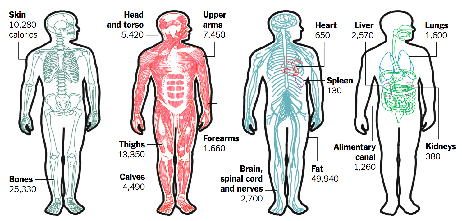 Calories in the human body