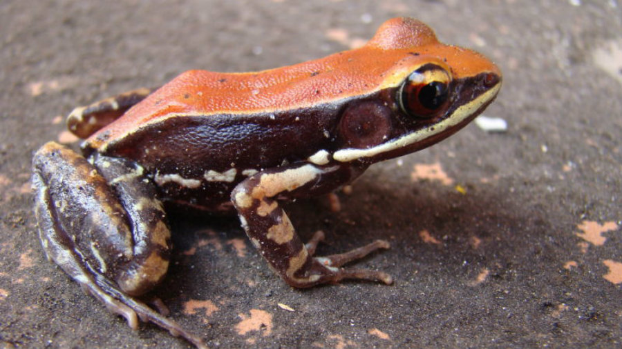 By giving the frog a small electric shock or by making them feel threatened, they excrete the mucus, allowing researchers to collect it without harming the specimen easily. Image credit: Sanil George & Jessica Shartouny / Gizmodo
