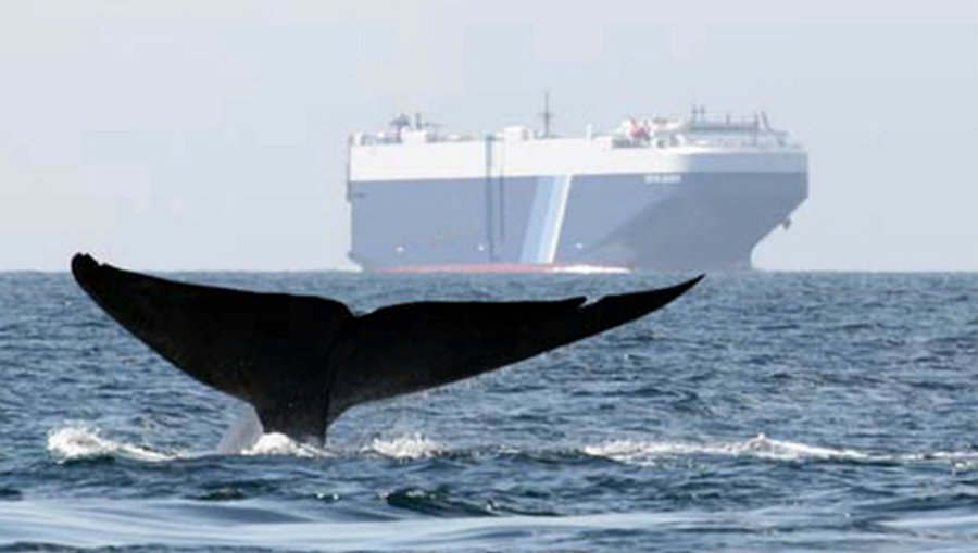 The rate of the collisions between whales and boats might be higher that they estimate. Image credit: BLUE OceanFilmFest Youtube Channel