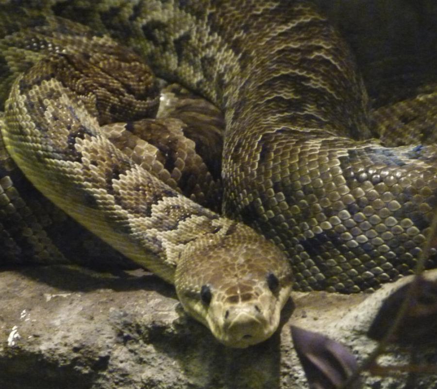 Cuban Boa Snake