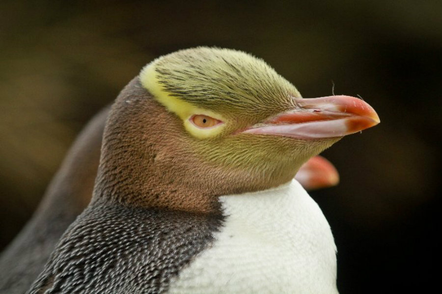 New Zealand's yellow-eyed penguins are close to extinction. Image credit: Penguinplace.co.nz
