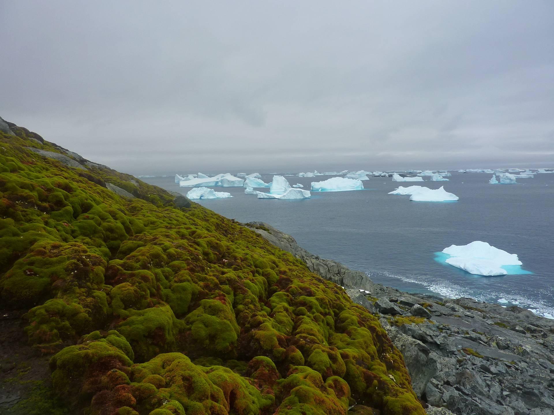 Moss in Antarctica