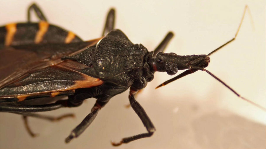 The illness is transmitted by kissing bugs, small insects that like to bite humans around their lips and faces while they sleep. Image credit:  NBCDFW.com