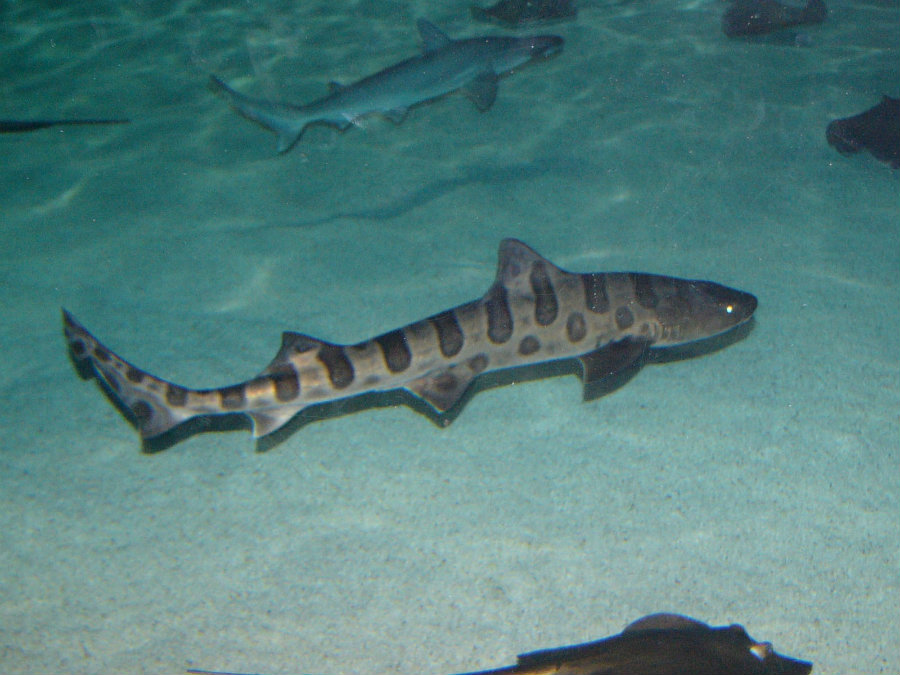 Experts said it is the second year in a row that leopard sharks, the most abundant shark species in the area, have been dying in the coast of California. Image credit: The Online Zoo