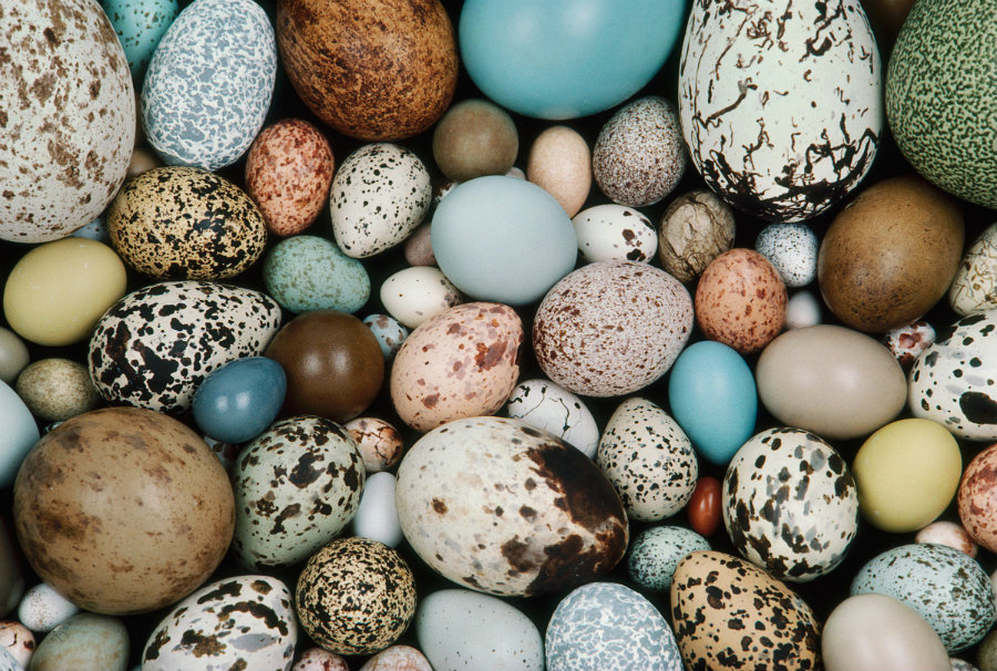 A new study published Thursday in the journal Science explains why bird eggs come in different shapes and sizes. Image credit: Frans Lanting / Corbis / Audubon