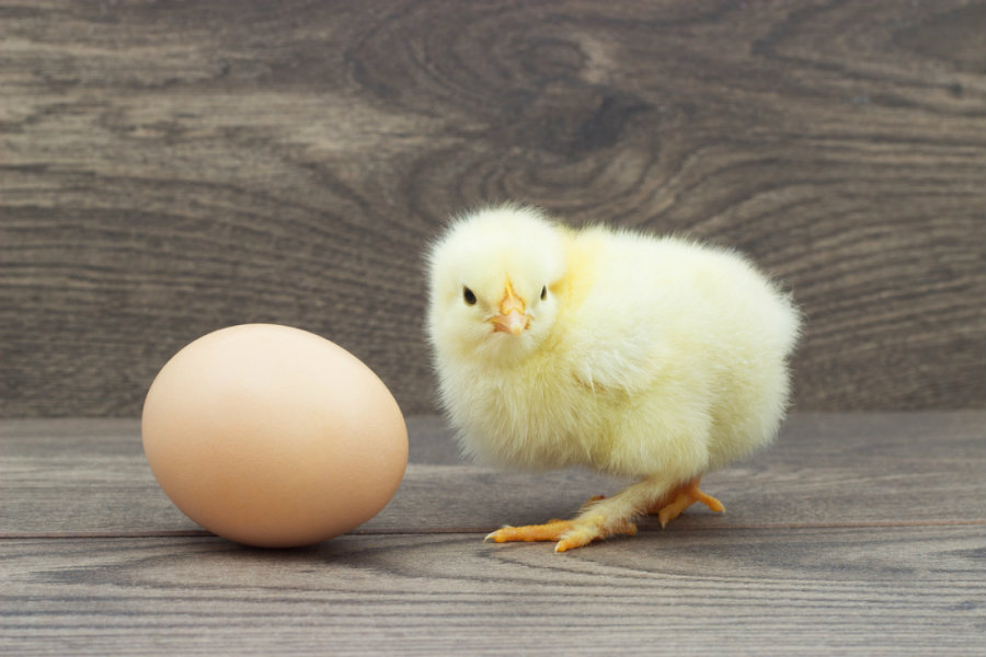 Aristotle believed that cocks hatched from a pointed chicken egg, while hens hatched from the rounder. Image credit: Blog.oxforddictionaries.com
