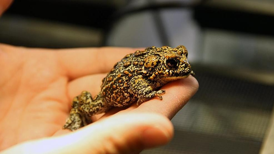 The Dixie Valley toad. Image Credit: University of Nevada