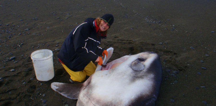 The new species found was dubbed the Hoodwinker Sunfish (Mola tecta). Image credit: Murdoch University / The Conversation