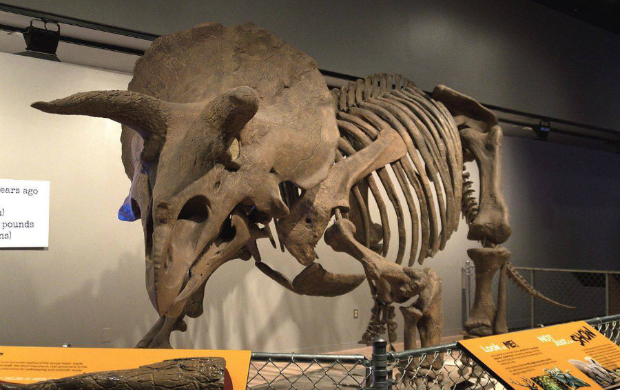 A rare triceratops fossil was unearthed while digging up a site for a new police and fire station in Thornton, Colorado. Image credit: The Earth Story