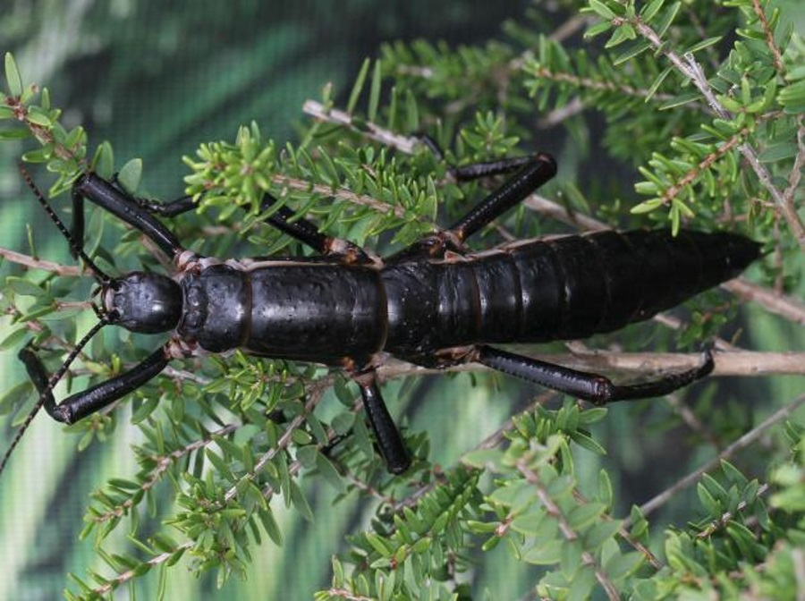 Tree lobster not extinct, Australian stick insects not extinct