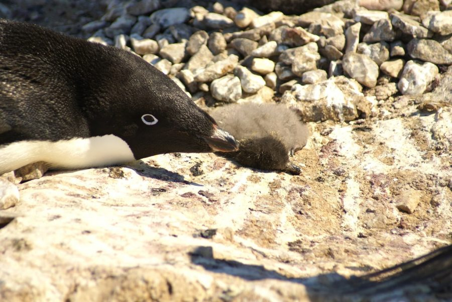Penguins in Antarctica, Penguin die off Antarctica, Penguin chicks