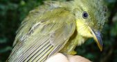 Liberian Greenbul not real, Icterine greenbul mistaken for Liberian