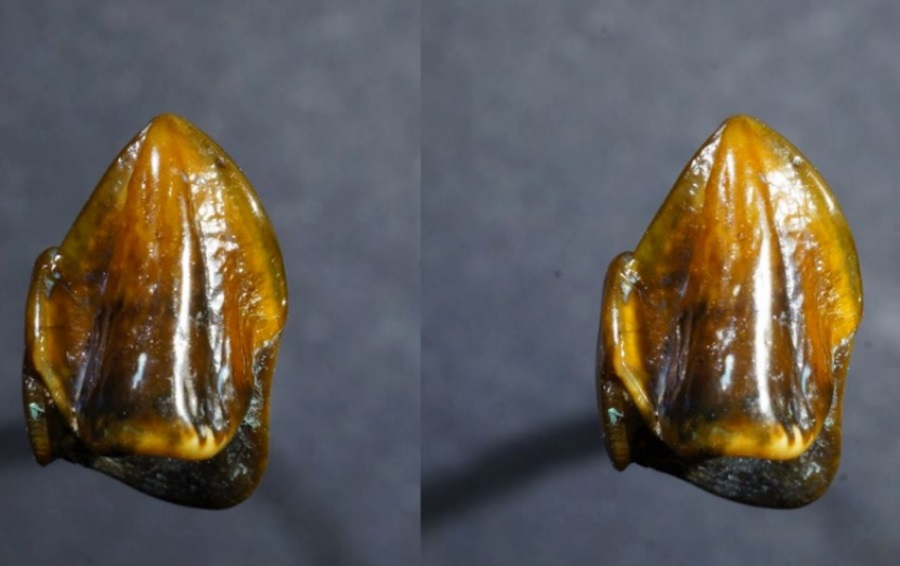 Fossil in Germany, First humans in Europe, 9-million-year-old teeth