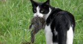 Australian cats killing birds, Australian birds to go extinct