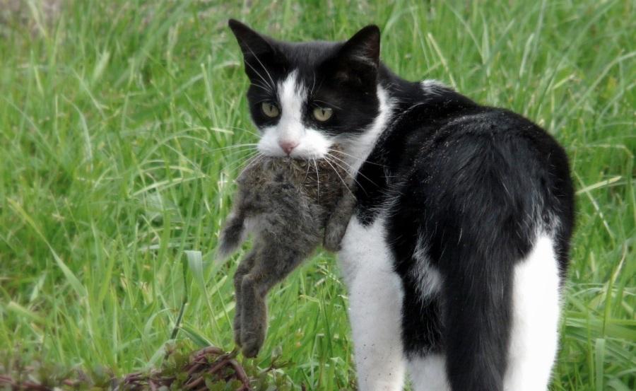 Australian cats killing birds, Australian birds to go extinct