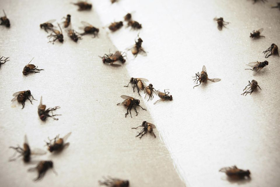 Flies contaminating human food, Flies carrying hundred of bacteria, Houseflies and blowflies